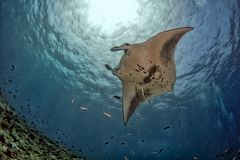 Manta in the blue ocean background portrait. Manta in the blue background while diving maldives royalty free stock image