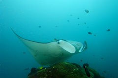 An Manta in the blue. Underwater Manta in the blue background while diving in Papua stock images