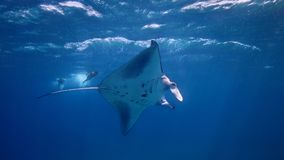 Manta Chasers. Swimmers chase a manta ray in Indonesia Stock Photo