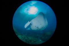 Manta at the cleaning station. Mantas in Bali indonesia, underwater picture Royalty Free Stock Images