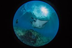 Manta at the cleaning station. Mantas in Bali indonesia, underwater picture Stock Photo