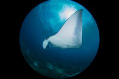 Manta at the cleaning station. Mantas in Bali indonesia, underwater picture Royalty Free Stock Photo