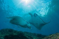 Manta at the cleaning station Royalty Free Stock Images