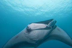Manta close up portrait Royalty Free Stock Photo