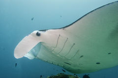 Manta close up portrait underwater Stock Photos