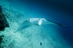 An  Manta coming to you in the blue background Stock Photos