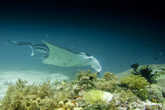 An Manta coming to you in the blue background. In Papua Indonesia blue ocean water while scuba diving royalty free stock image