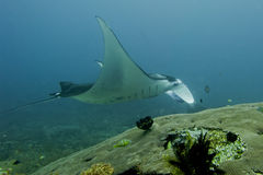 An  Manta coming to you in the blue background Stock Images