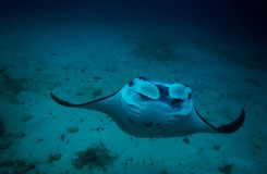 Manta and coral reef diving underwater Stock Photo