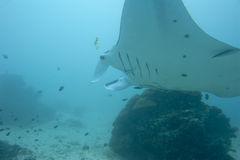 Manta in the deep blue ocean background Royalty Free Stock Photos