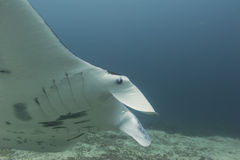Manta in the deep blue ocean background Royalty Free Stock Photo