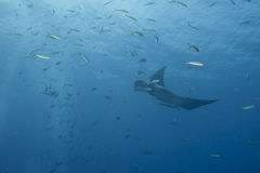 Manta in the deep blue sea Royalty Free Stock Photo