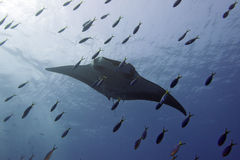 Manta in the deep blue sea Stock Image