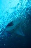 Manta, der nahe Oberfläche schwimmt Stockbild