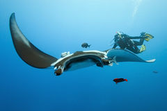 Manta and diver on the reef Royalty Free Stock Photos