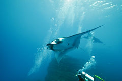 Manta and diver on the reef Stock Photography