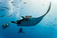 Manta and divers on the reef. Manta on the blue background from mexico Royalty Free Stock Photo
