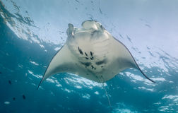 Manta feeding on a shallow reef. Stock Images