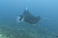 Manta i den djupblå havbakgrunden Arkivbilder