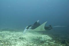 Manta i den djupblå havbakgrunden Royaltyfri Fotografi