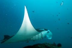 Manta i den djupblå havbakgrunden Arkivbild