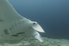 Manta i den djupblå havbakgrunden Royaltyfri Foto