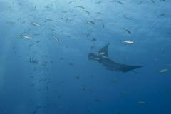 Manta i det djupblå havet Royaltyfri Foto