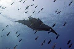 Manta i det djupblå havet Fotografering för Bildbyråer