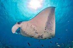 Manta im blauen Ozeanhintergrundporträt lizenzfreie stockbilder