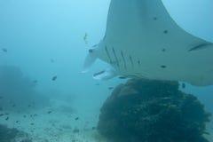 Manta im tiefen blauen Ozeanhintergrund Lizenzfreie Stockfotos