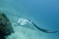 Manta im tiefen blauen Ozeanhintergrund Stockfotografie