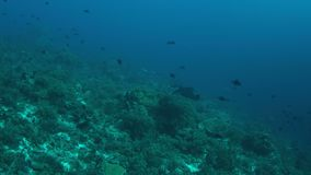 manta 4k su una barriera corallina stock footage