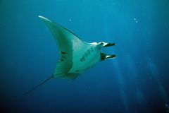 Manta (manta birostris) Stock Photography