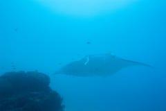 Manta, medan dyka i Raja Ampat Papua Indonesia Royaltyfri Fotografi