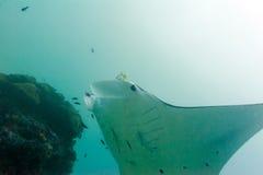 Manta, medan dyka i Raja Ampat Papua Indonesia Arkivbilder