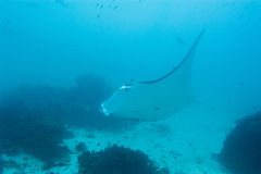 Manta, medan dyka i Raja Ampat Papua Indonesia Royaltyfria Foton