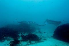 Manta, medan dyka i Raja Ampat Papua Indonesia Royaltyfri Bild