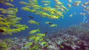 Manta nurkowie i promień relaksujemy podwodnego w pasiastej fotograf szkoły ryba w oceanie zdjęcie wideo