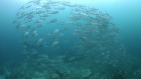 Manta oceanica in Raja Ampat 4k archivi video