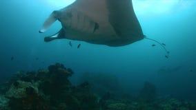 Manta oceanica in Raja Ampat 4k video d archivio