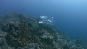 Manta oceanica in Raja Ampat 4k video d archivio