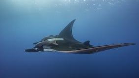 Manta oceánico Ray Underwater Foto de archivo