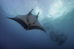 Manta och Jackfish Arkivbild