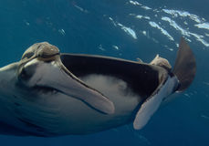 Manta, onderwaterbeeld Stock Foto