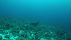 Manta promień na rafie koralowa 4k zdjęcie wideo