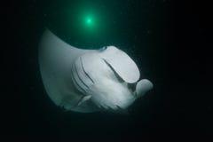 Manta promień w ciemności zdjęcia royalty free