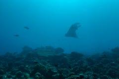 Manta promień w oceanie indyjskim Obraz Stock