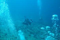 Manta promień w oceanie indyjskim Obrazy Royalty Free