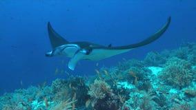 Manta promień na rafie koralowa Zdjęcia Royalty Free