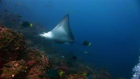 Manta promienia rampy ryba i nurka o podwodny zadziwiający dno morskie w Galapagos zbiory wideo
